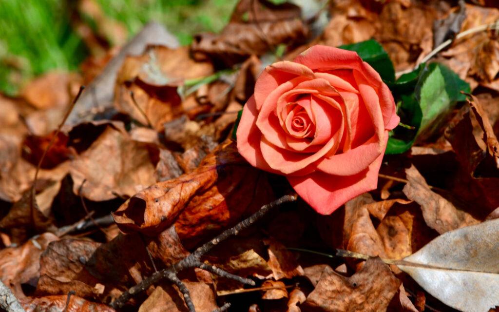 Осень розы